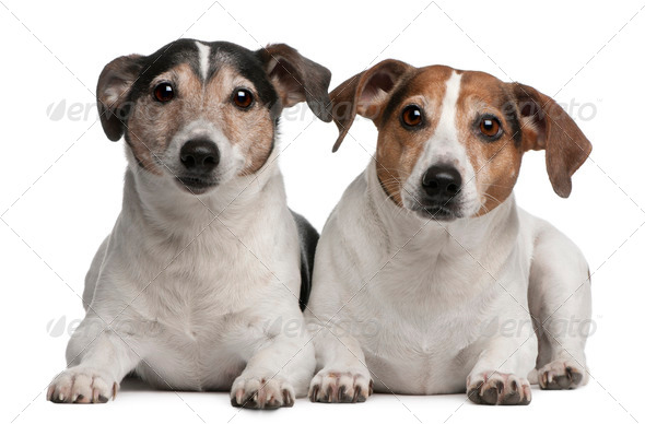 Jack Russell Terriers, 6 and 12 years old, lying in front of white background - Stock Photo - Images