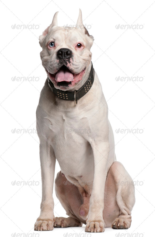 Boxer with ears cut, 1 year old, sitting in front of white background - Stock Photo - Images