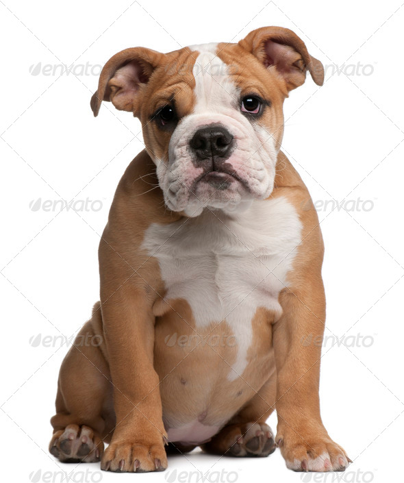 English Bulldog puppy, 4 months old, sitting in front of white background