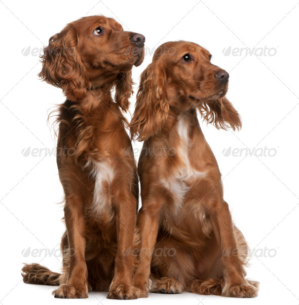 American Cocker Spaniels, 2 years old and 9 months old, sitting in front of white background - Stock Photo - Images