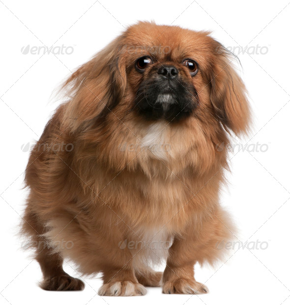 Pekingese, 8 months old, standing in front of white background - Stock Photo - Images