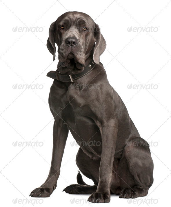 Neapolitan Mastiff, 3 years old, sitting in front of white background - Stock Photo - Images
