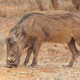 A Warthog in Kruger Park - PhotoDune Item for Sale