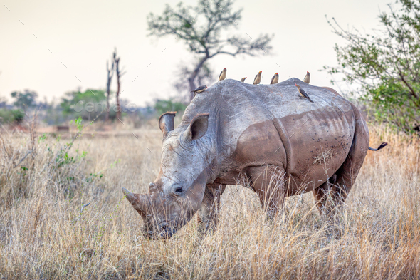 A White Rhino in Kruger Park - Stock Photo - Images