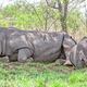 White Rhinos Resting in Kruger Park - PhotoDune Item for Sale
