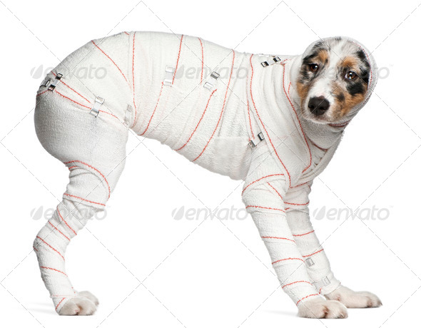 Australian Shepherd puppy in bandages, 5 months old, standing in front of white background - Stock Photo - Images