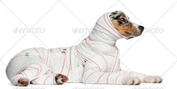 Australian Shepherd puppy in bandages, 5 months old, lying in front of white background - Stock Photo - Images