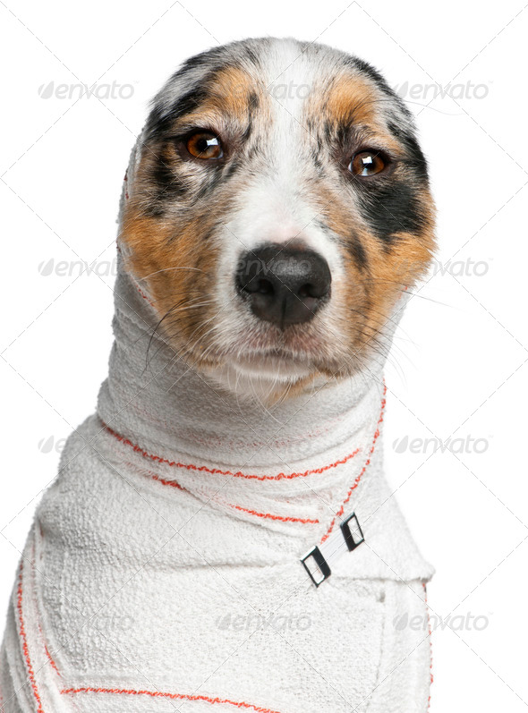 Close-up of Australian Shepherd puppy in bandages, 5 months old, in front of white background - Stock Photo - Images