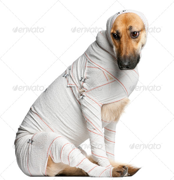 German Shepherd puppy in bandages, 4 months old, sitting in front of white background - Stock Photo - Images