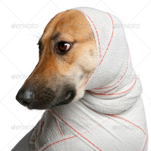 Close-up of German Shepherd puppy in bandages, 4 months old, in front of white background - Stock Photo - Images