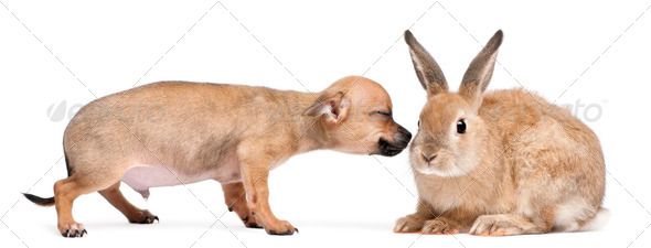 Chihuahua puppy playing with rabbit in front of white background - Stock Photo - Images