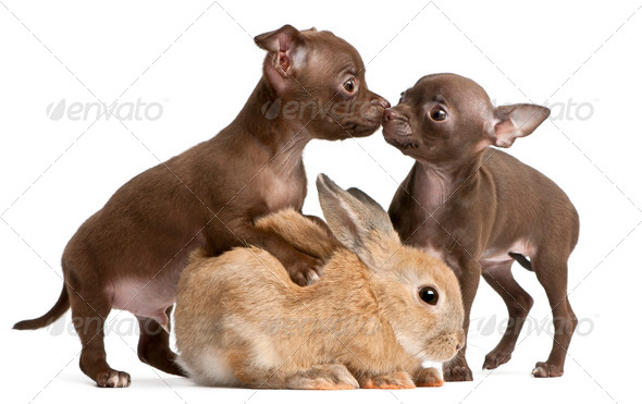 Chihuahua puppies, 10 weeks old, and rabbit in front of white background - Stock Photo - Images