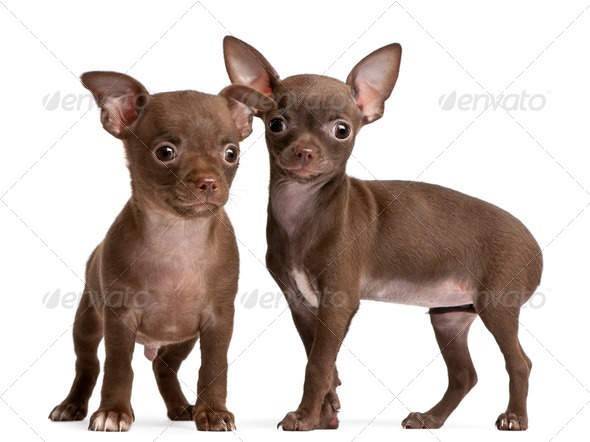 Chihuahua puppies, 10 weeks old, standing in front of white background - Stock Photo - Images
