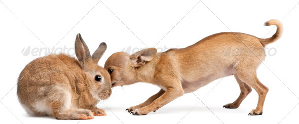 Chihuahua puppy sniffing rabbit in front of white background - Stock Photo - Images