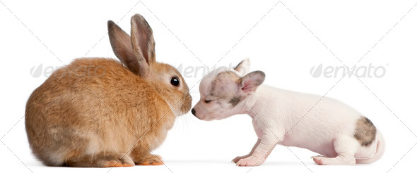 Chihuahua puppy, 10 weeks old, sniffing rabbit in front of white background - Stock Photo - Images