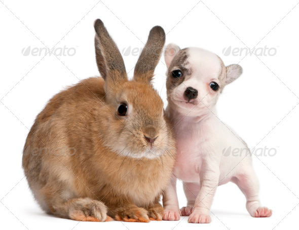 Chihuahua puppy, 10 weeks old, and rabbit in front of white background - Stock Photo - Images