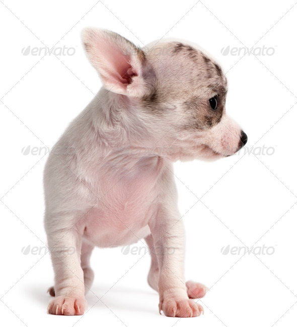 Chihuahua puppy, 10 weeks old, standing in front of white background - Stock Photo - Images
