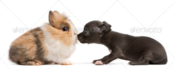 Chihuahua puppy, 6 weeks old, and rabbit in front of white background - Stock Photo - Images