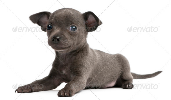 Chihuahua puppy, 6 weeks old, lying in front of white background - Stock Photo - Images
