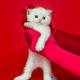 White British kitten in women's hands - PhotoDune Item for Sale