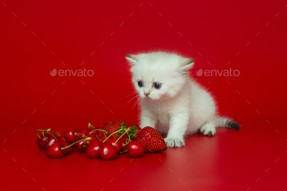 White British kitten and summer berries - Stock Photo - Images