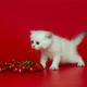 White British kitten and summer berries - PhotoDune Item for Sale