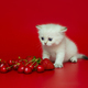 White British kitten and summer berries - PhotoDune Item for Sale
