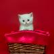 White British kitten in a wicker basket - PhotoDune Item for Sale