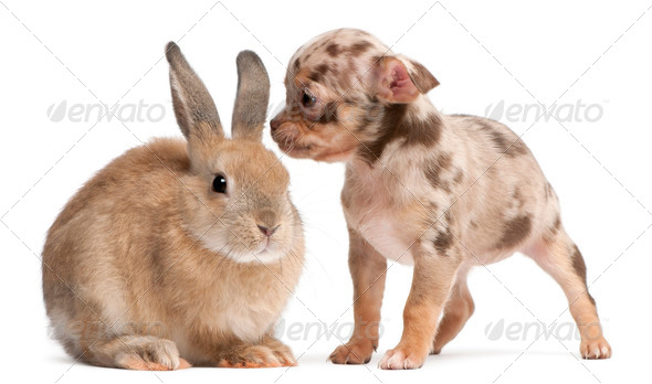 Chihuahua interacting with a rabbit in front of white background - Stock Photo - Images
