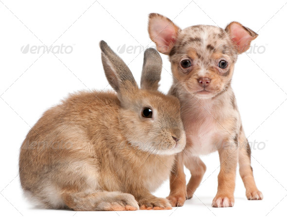 Chihuahua with a rabbit in front of white background - Stock Photo - Images