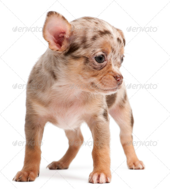 Chihuahua puppy standing in front of white background - Stock Photo - Images