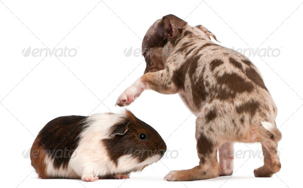 Chihuahua puppy interacting with a guinea pig in front of white background - Stock Photo - Images