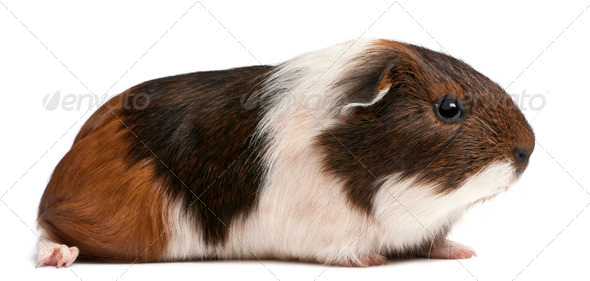 Guinea pig sitting in front of white background - Stock Photo - Images
