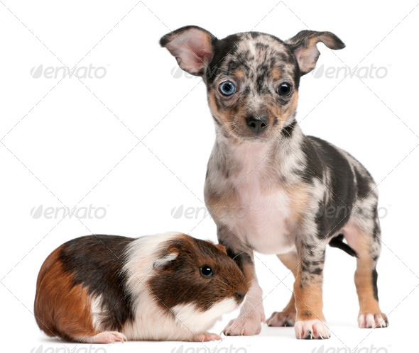 Chihuahua puppy with a guinea pig in front of white background - Stock Photo - Images