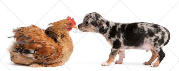 Chihuahua puppy interacting with a hen in front of white background - Stock Photo - Images