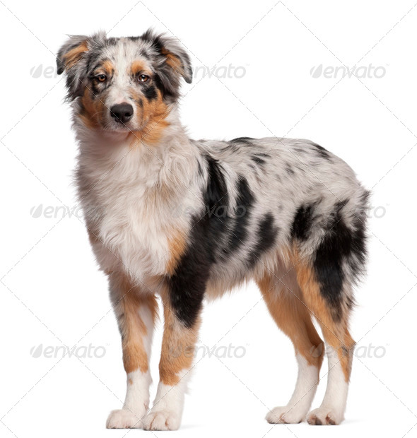 Australian Shepherd dog standing in front of white background - Stock Photo - Images