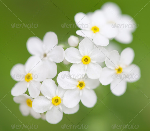 white flowers in the field - Stock Photo - Images