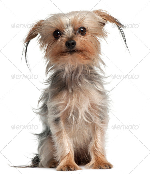 Yorkshire Terrier, 4 years old, sitting in front of white background - Stock Photo - Images
