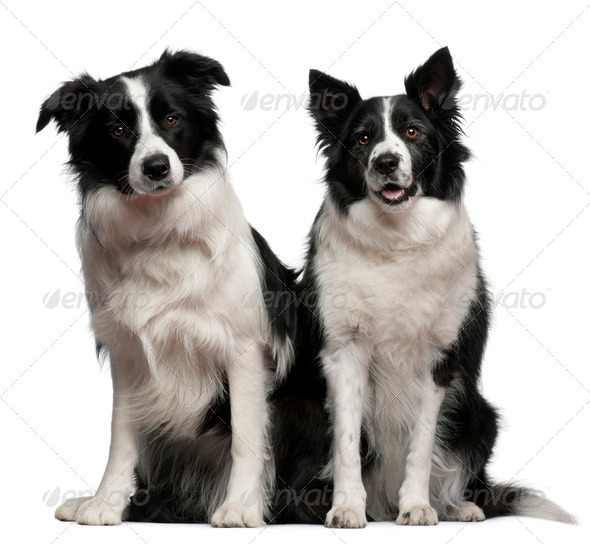 Border collies 1 and 9 years old, sitting in front of white background - Stock Photo - Images
