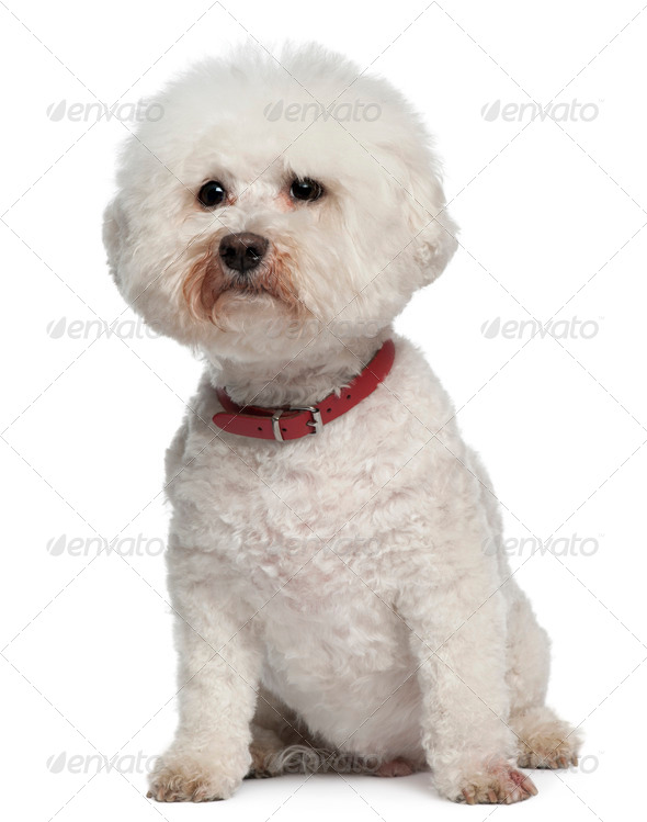 Bichon Frise, 13 years old, sitting in front of white background - Stock Photo - Images