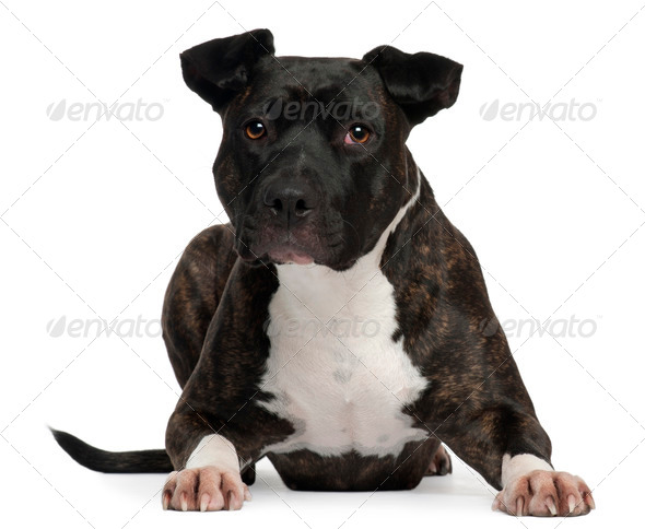 American Staffordshire Terrier, 2 years old, lying in front of white background - Stock Photo - Images