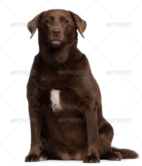 Fat Labrador Retriever, 7 years old, sitting in front of white background - Stock Photo - Images