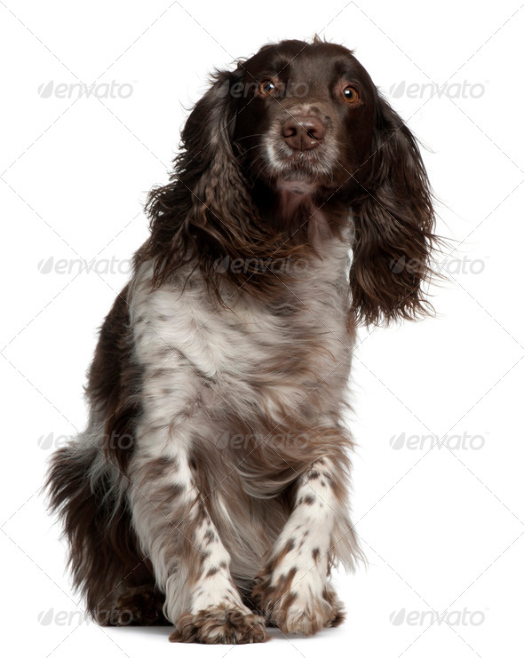 American Cocker Spaniel with windblown hair, 2 years old, sitting in front of white background - Stock Photo - Images