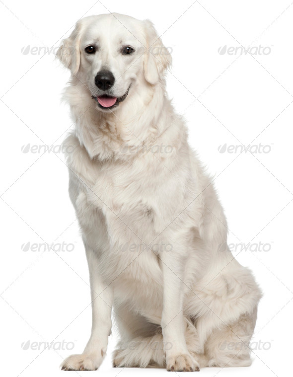 Kuvasz, 18 months old, sitting in front of white background - Stock Photo - Images