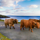 Highland cows and a bull on the road to Hushinish - PhotoDune Item for Sale