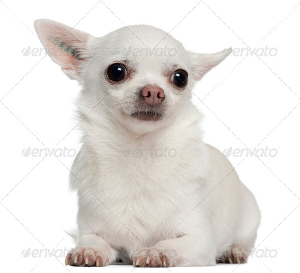 Chihuahua, 5 years old, lying in front of white background - Stock Photo - Images