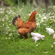 hen and chickens on green lawn with flowers in organic farm - PhotoDune Item for Sale