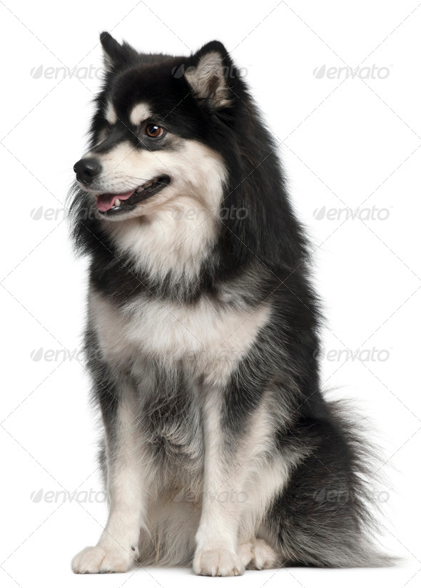 Finnish Lapphund, 1 year old, sitting in front of white background - Stock Photo - Images