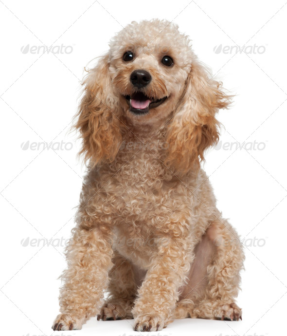 Poodle, 9 years old, sitting in front of white background - Stock Photo - Images