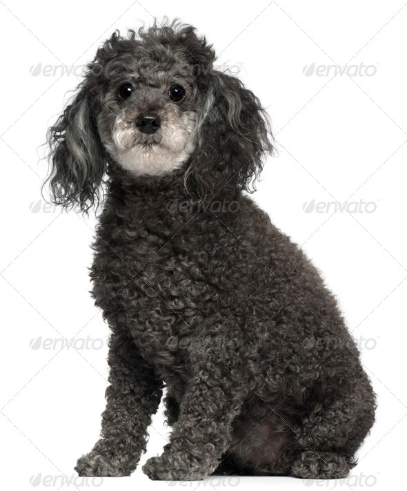 Poodle, 12 years old, sitting in front of white background - Stock Photo - Images